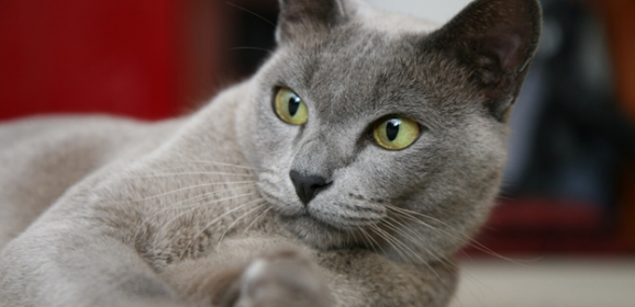 A Detailed Guide  to the Burmese Cat Breed